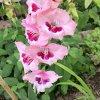 Gardenqueen
